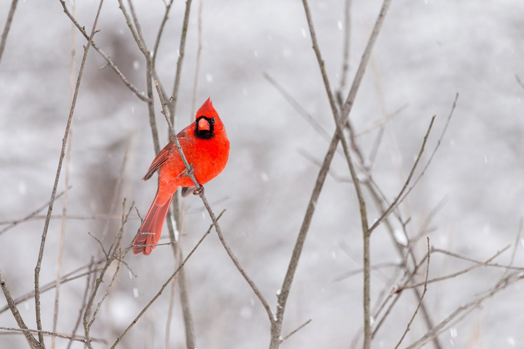 Red cardinal sitting on a branch in winter